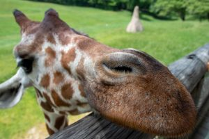 giraffe putting nose over wooden fence